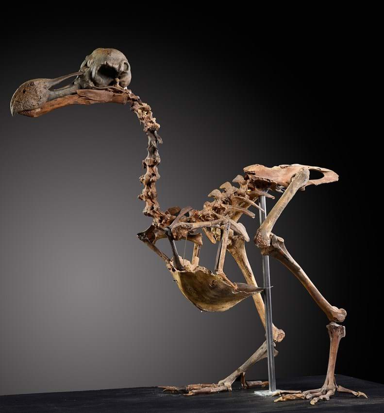 A rare dodo skeleton